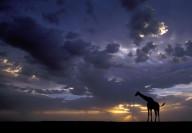 Wildlife-8_Giraffe-Sunset