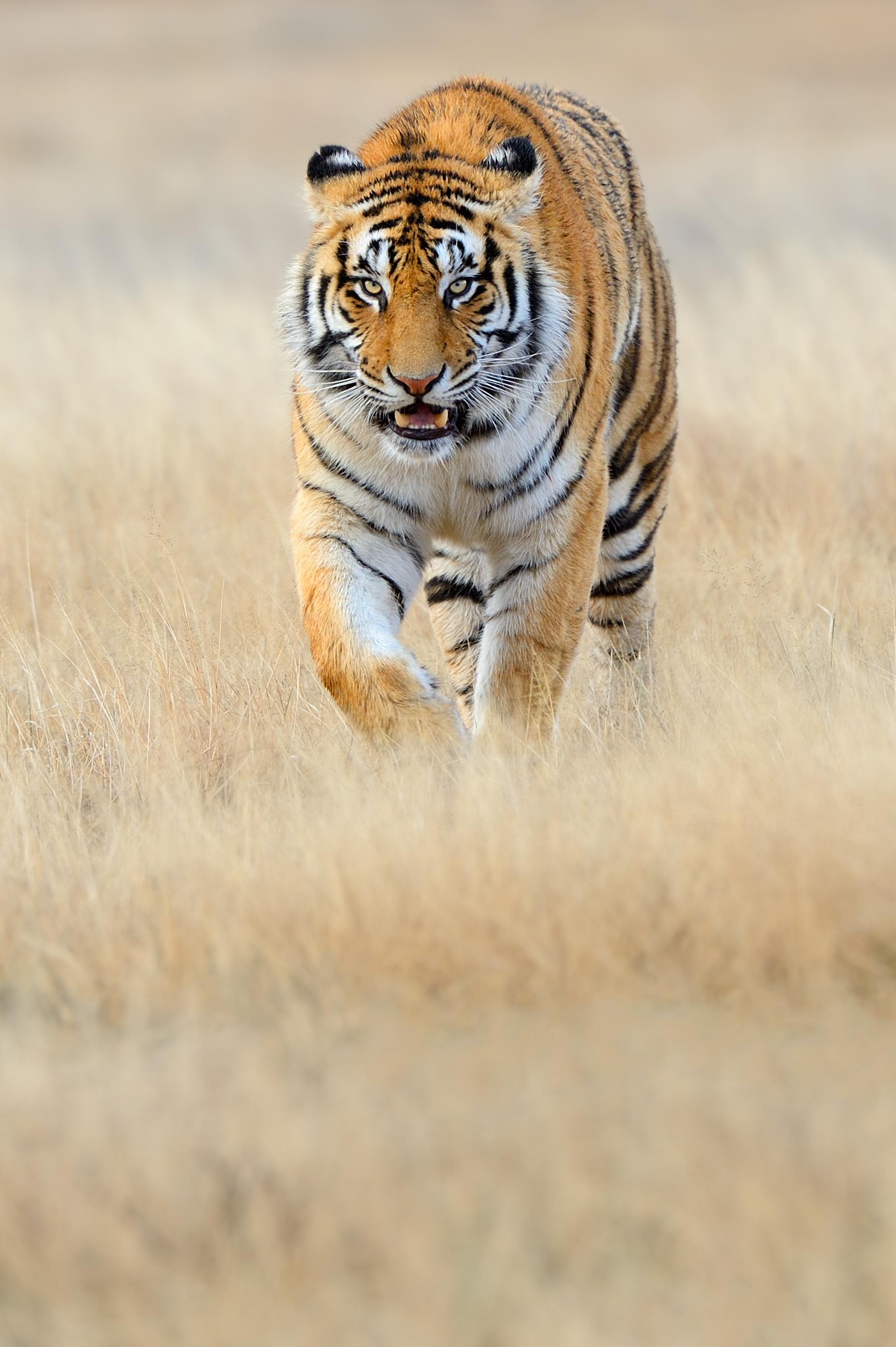 Special-Tigers-SA_120608_5907-crop