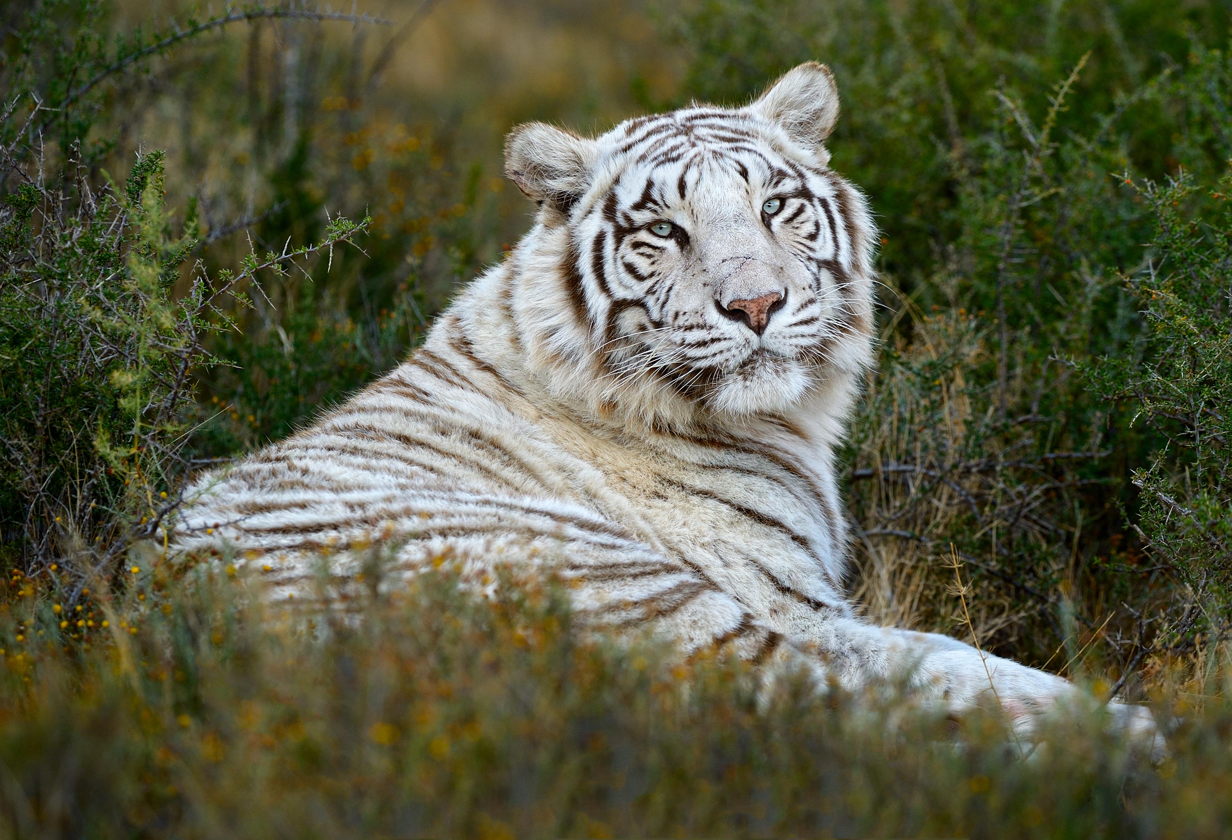 Special-Tigers-SA_120608_6132
