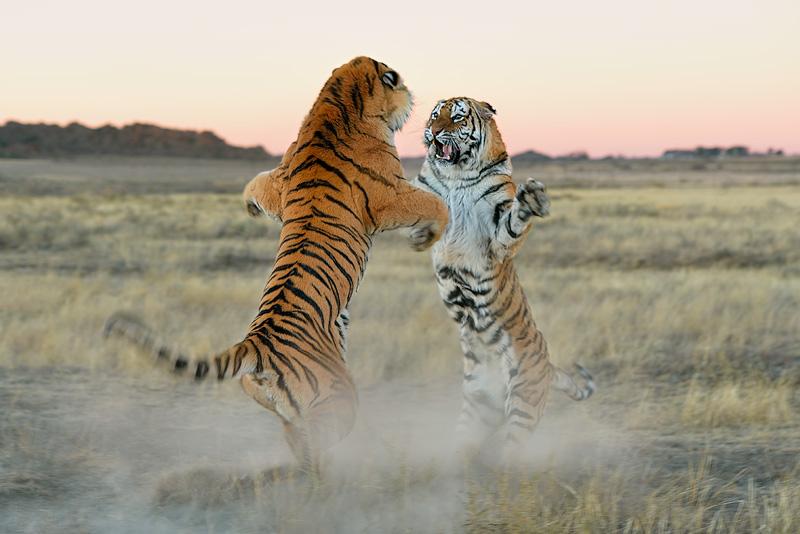 Special-Tigers-SA_130730_11359