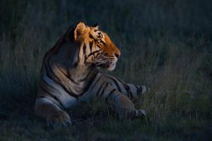 Special-Tigers-SA_TC_140121_6542