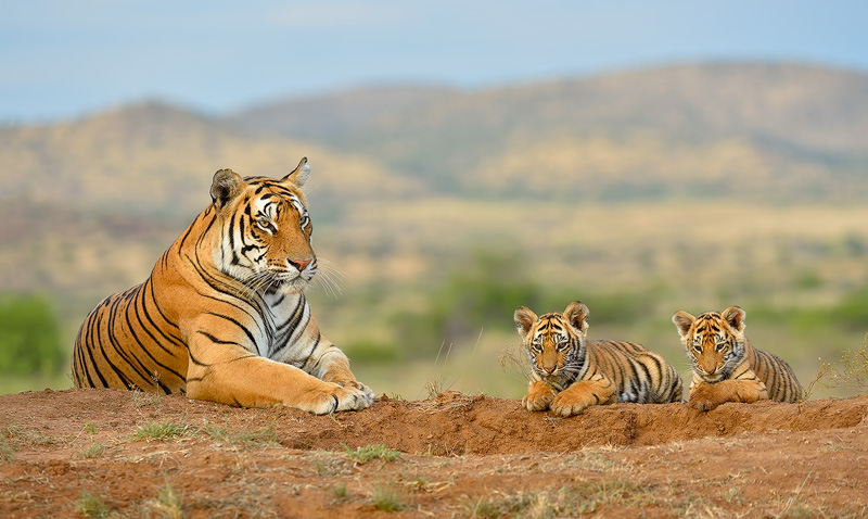 Special-Tigers-SA_TC_140123_8255